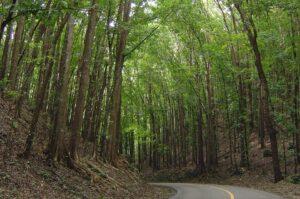 man made forest bohol filipinas