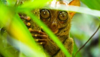 tarsier bohol filipinas
